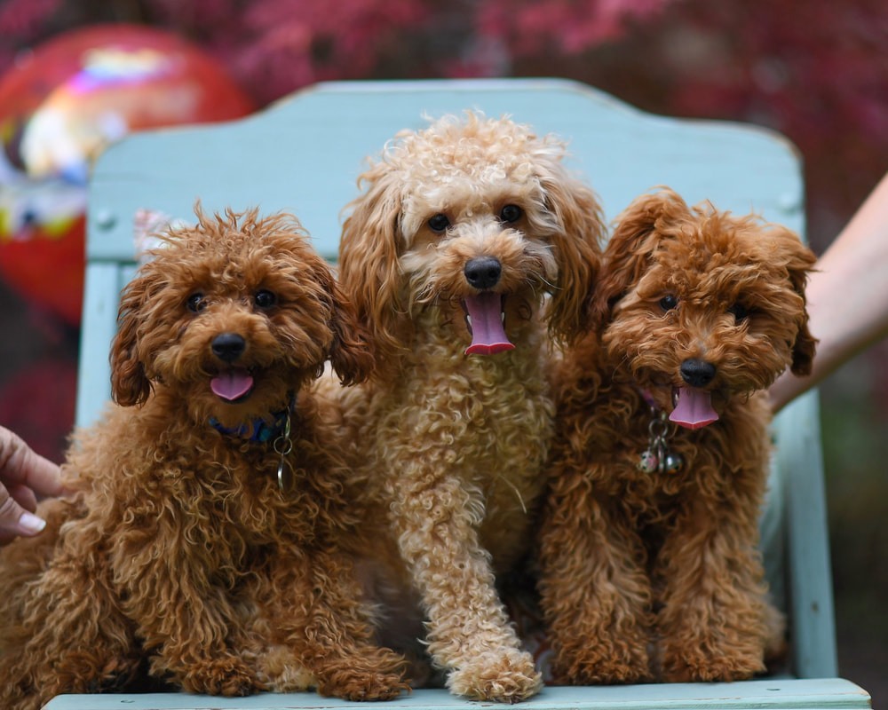 Goldendoodles Utah - HOME